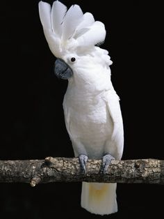 """The Umbrella or White Cockatoo is endemic to the Maluku Islands in Indonesia. They are found at elevations of 1,000-3,000 ft in forests, open woodlands, swamps, mangroves and agricultural areas (where they're considered """"pests"""" as they eat the crops). Like other cockatoos, they are important for the dispersal of seeds, which is essential for the ecology and evolution of plants. The white cockatoo is """"vulnerable"""" - its numbers have declined due to habitat loss, hunting & illegal trapping."""