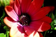 Blue-Eyed Daisy In Red