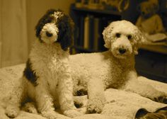 Standard poodles - so cute without the crazy show dog hair cut!
