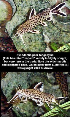 Synodontis polli. Lake Tanganyika catfish.