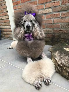 I Love Dogs, Puppy Love, Cute Dogs, Grooming Salon, Dog Grooming, Puppy Haircut, Silver Poodle, Creative Grooming, Poodle Cuts