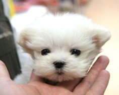 can't resist this face #maltese