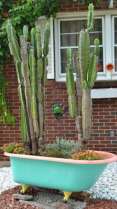 You don't see many cactuses in outdoor gardens in the Buffalo, NY area, but gardeners in suburban Tonawanda have nurtured this pair of nine-foot cactuses. The original plant dates back to 1955. The gardeners bring the plants in each winter. See the article for more details.