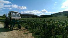 Picking begins in Burgundy: Nuits vineyards being harvested in fine weather ! September 2015.