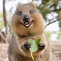 21 Photos Of Quokkas That Prove They Are The Undisputed Cutest Animal In Australia