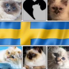 Shock and sadness in our country.  #birmans #birman #sacredbirman #heligbirma #birmania #birmanie #pyhäbirma #instabirmans #birmansofinstagram #blueeyes #whitecats #fluffycats #instacats #catsofinstagram #cats #kittens #instakittens #kittensofinstagram #lovecats #birmavanner #tabbycats #toocute #beautifulcats #excellentcats #tortiecats #cutepetclub #prayforsweden