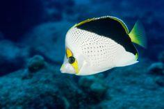 Chaetodon tinkeri - Tinker's Butterflyfish - Hawaii