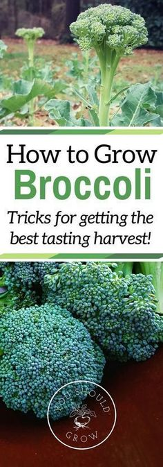 If you've had trouble growing broccoli before, read these tips for getting a tasty crop. Grow your own delicious broccoli in your garden. via /whippoorwillgar/ #urbangardeningvegetables