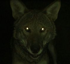 """Wolf Conservation Center : """"Anyone else wish their eyes could do this? Here's why wolves' eyes glow in the dark. Gothic Aesthetic, Night Aesthetic, Tapetum Lucidum, Scary Wolf, Scary Tales, Wolf Eyes, Night Forest, Dog Photos, Werewolf"""