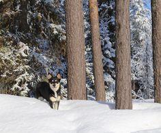 Lapponian Herder Seita, my dreamy girl. Boston Terrier, Dogs, Animals, Boston Terriers, Animales, Animaux, Pet Dogs, Doggies, Animal