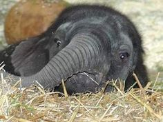 Browse all of the Baby Animals photos, GIFs and videos. Find just what you'r… Browse all pet babies, GIFs and videos. At Photobucket you will find exactly what you are looking for Cute Baby Elephant, Elephant Art, African Elephant, Cute Baby Animals, Funny Animals, Wild Animals, Elephas Maximus, Elephant Photography, Wildlife Photography