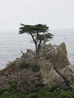 The Lone Cypress  - 17 Mile Drive  Pebble Beach, California - Photo taken by Desiree Lambert