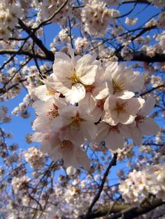哲学の道 銀閣寺 四季咲亭 桜