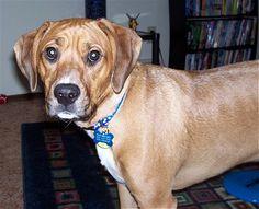 beagle-boxer-mix_12.jpg (400×325)
