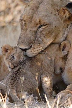 A Lioness Lovin' Her Cubs.