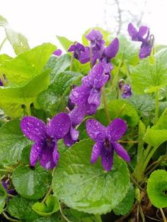 Tuoksuorvokki (Viola odorata)