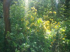 Gelber Ranukelstrauch in meinem Garten