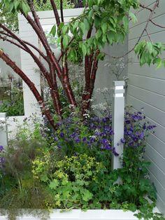 Prunus serrula - glanskörsbär  Höjd: 5-7 meter Bredd: 5-6 meter Härdighet: zon 3(4) Läge: Mullrik och fuktig, kalkhaltig och något lerhaltig jord. Sol-halvskugga.  Ett mindre körsbärsträd med vasformad och senare rundad krona med smala blad och små vita blommor på våren. Mindre framträdande höstfärger i gröngult-gulorange. Den släta mahognyglänsande barken rullar sig och lossnar i flagor.