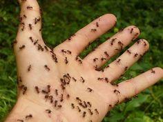 O Brasil é um país tropical.Logo, é um país onde a temperatura é alta na maior parte do ano.E sabe o que isso favorece?Entre outras coisas, as formigas!Com o calor, elas saem do habitat delas e vão procurar comida na nossa casa.