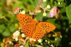 Insectos. Foto de una mariposa nacarada macho. Argynnis paphia.