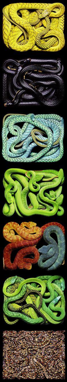 Snakes alive .... and in multicolor...Guido Mocafico --