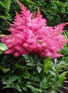 "Astilbe hybrid ""Younique Cerise,"" another addition to my shade garden."