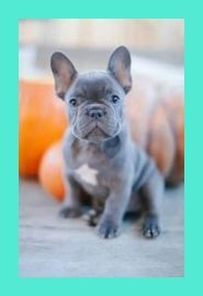 How To Choose The Right French Bulldog Puppy Bulldog Puppies Frenchie French Bulldog Pup Bulldog Puppies Cute Bulldog Puppies Bulldog