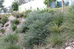 Monrovia's Mundi™ Westringia details and information. Learn more about Monrovia plants and best practices for best possible plant performance. Drought Resistant Landscaping, Drought Resistant Plants, Australian Native Garden, Australian Plants, Bamboo Garden, Garden Beds, Ground Cover Flowers, Ikea Garden Furniture, Australian Wildflowers