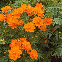 Shade garden 408631366186464494 - 24 Spectacular Shade Garden Perennials Cosmos Sulphureus Cosmic Orange Source by katdinsky Shade Perennials, Flowers Perennials, Shade Flowers, Orange Flowers, Shade Trees, Spring Flowers, Jardin Decor, Shade Garden Plants, White Flower Farm
