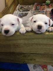 Staffy puppies for sale, Staffy pups and Face tan on Pinterest