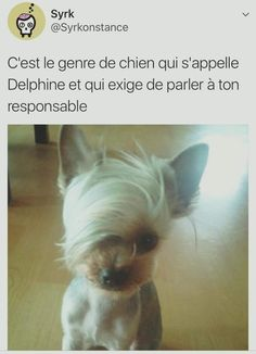 japanese yorkie~ COUSINS to the Yorkshire terrier! Funny Pictures With Captions, Funny Animal Pictures, Funny Photos, Funny Animals, Cute Animals, Yorkshire Terrier, Cute Puppies, Cute Dogs, Dogs And Puppies