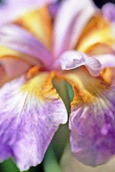 The Iris is such a lovely flower, though the blooms don't last all that long (photo: Dave Melnychuk)