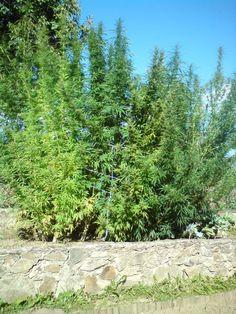 http://www.semena-marihuany.cz/cs/article/36-pestovani-outdoor-zasady-pestovani-venku