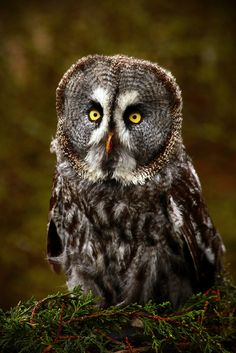 Great Grey Owl - Largest Owl in North America...