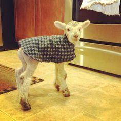 house lamb!