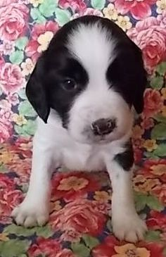 English Springer Spaniel Puppies For Sale Bettys Board Springer