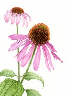 Echinacea purpurea, purple cone flower – Margaret Best