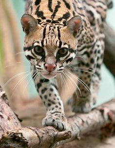 """Margay ~ a small cat native to Central and South America, and is on the """"Near Threatened"""" list of animals...."""
