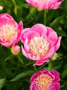 For decades, northern gardeners have relied on peonies to provide a spring festival of color and fragrance. Besides being drop-dead gorgeous, peonies are also tough enough to sleep soundly through the coldest winters. They pop back up at the first signs of warm spring weather. Peonies come in a wide variety of flower forms and colors. Most are hardy in Zone 3.Survival Tip: Trim dead peony foliage back before winter. That way, the new spring foliage won't have to poke through the previous year's