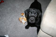 Black Lab Puppy 1st day at home