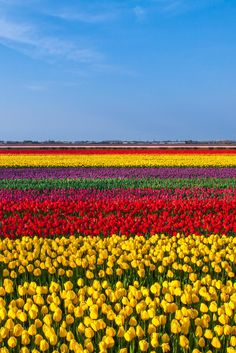 Ce champ de tulipes est très coloré. On voit beaucoup de couleurs, tel que le jaune, le rouge, le vert, le mauve et le bleu du ciel. On voit quelques nuages translucide. Les tulipes sont placé par couleur, et ça ce répète. Il y a une certaine symétrie Ce champ m'inspire de la joie et me fait penser au printemps, à cause des couleurs. Ce champs m'apaise, car je me sens au soleil.