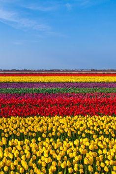 Tulips Field, Keukenhof Garden, Netherlands  WENT AMSTERDAM DOPEY HEADY TRIPPY