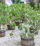 Fruktträd för balkong och kruka - Grobar