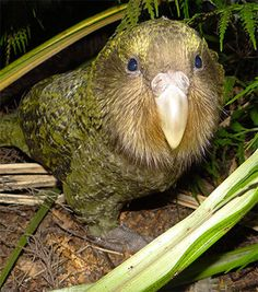 A group of kakapo will have their genomes sequenced in the hope it will improve the birds' genetic diversity. Flightless Parrot, Kakapo Parrot, Parakeets, Parrots, Genome Sequencing, Bird Gif, Animal 2, Weird And Wonderful, Beautiful Birds