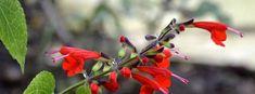 Salvia coccinea | Salvia, Hummingbird Sage, Scarlet Sage, Texas Sage, Tropical Sage 'Lady in Red' Salvia, Landscaping Plants, Native Plants, Flower Ideas, Hummingbird, Scarlet, Sage, Seeds, Tropical