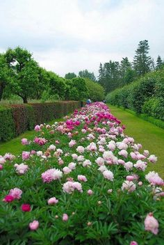Gorgeous row of planted peony bushes in a landscape.......If I had this in my garden I would feel like I had died and gone to heaven!!    absolutely gorgeous Peonies <3
