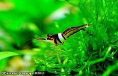 Explore Amazing Shrimp, Sulawesi Shrimp, and more!