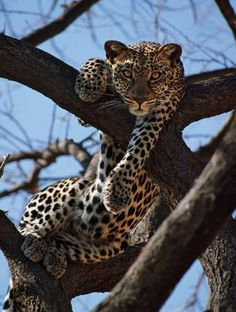 Africa | A leopard gazes intently from a comfortable perch in a tree in Samburu National Reserve, Kenya | © Nigel Pavitt