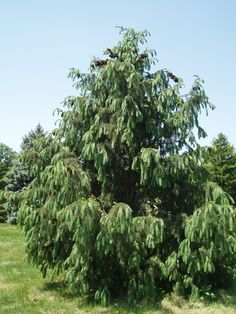 Heat Tolerant Conifers