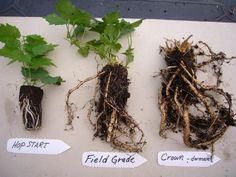 hop plants vs rhizomes - Home Brew Forums
